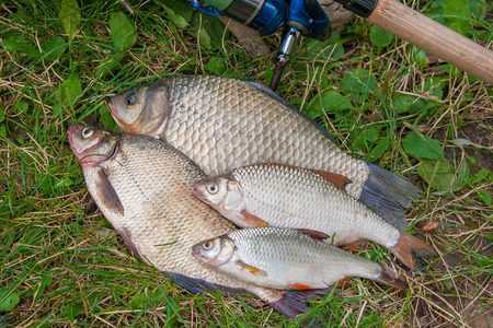 freshwater fish: Freshwater fish just taken from the water. Catching freshwater fish and fishing rod with fishing reel on green grass. Several bream fish, crucian fish, roach fish on natural background.
