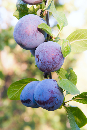purple leaf plum: Close up of the plums ripe on branch. Ripe plums on a tree branch in the orchard. View of fresh organic fruits with green leaves on plum tree branch in the fruit garden.