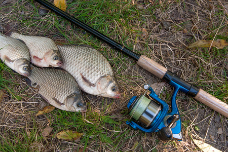 crucian: Catching freshwater fish and fishing rod with fishing reel on green grass. Crucian fish or Carassius on green grass.