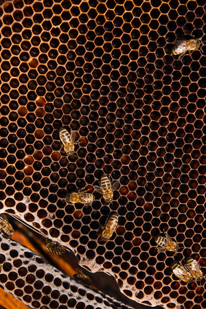 working animals: Busy bees, close up view of the working bees on honeycomb. Bees close up showing some animals and honeycomb structure.