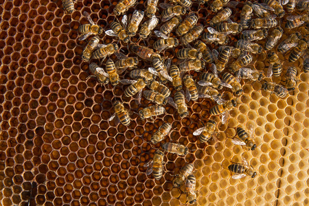 working animals: Busy bees, close up view of the working bees on honeycomb. Bees close up showing some animals with the queen bee in the middle and honeycomb structure.