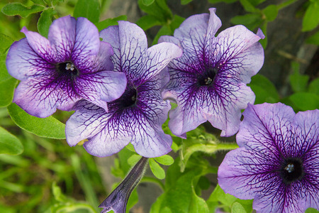 plants species: Petunia is genus of many species of flowering plants South American origin, closely related to tobacco, cape gooseberries, tomatoes, deadly nightshades, potatoes and chili peppers; in family Solanaceae