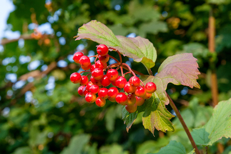 guelder rose berry: Close up of bunches of red berries of a Guelder rose or Viburnum berries shrub on a sunny day at the end of the summer season.