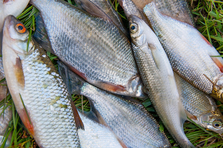 Freshwater fish just taken from the water. Several bream, roach, bleak fish and silver bream or white bream on green grass. Catching fish - common bream, common roach, common bleak and silver bream or white bream. Stock Photo