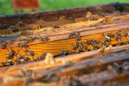 cluster house: Close up view of the opened hive body showing the frames populated by honey bees.