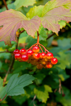 Close up of bunches of red berries of a Guelder rose or Viburnum berries shrub on a sunny day at the end of the summer season.