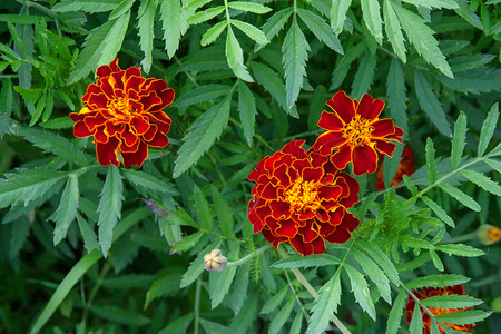 patula: A background of a single type flowering deautiful and colorful flowers of French Marigold. Botanical name is Tagetes patula. Stock Photo