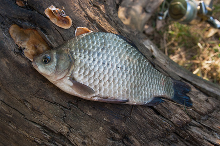 Freshwater fish just taken from the water. Single crucian fish or Carassius on tree trunk with mushrooms.
