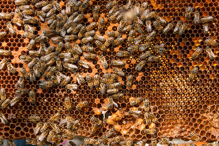 cluster house: Busy bees inside hive with open and sealed cells for their young. Birth of o a young bees. Close up showing some animals and honeycomb structure.