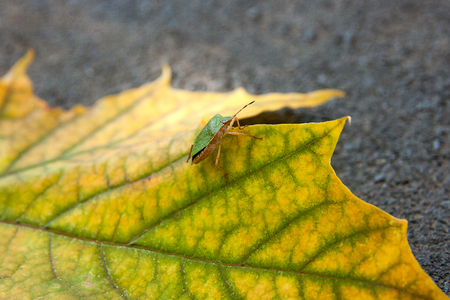 green shield bug: Close up view of a green shield bug or stink bug on autumn maple leaf. Green and yellow maple leaf as an autumn symbol on dark cement floor.