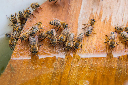 working animals: Busy bees, close up view of the working bees. Bees close up showing animals drinking water at summer time.