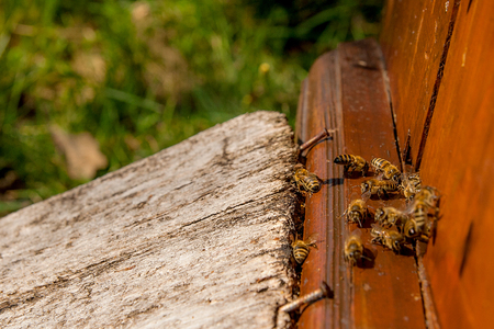 plenty: Plenty of bees at the entrance of beehive in apiary. Busy bees, close up view of the working bees