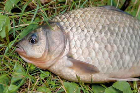 fish tail: Freshwater fish just taken from the water. Single crucian fish on green grass. Catching fish - crucian.