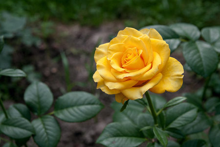 Beautiful yellow rose in the garden. Artistic image of beautiful flower for greeting cards.