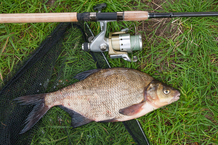 Just taken from the water freshwater common bream known as bronze bream or carp bream (Abramis brama) and fishing rod with reel on natural background. Natural composition of fish, fishing net and fishing rod with reel on green grass.