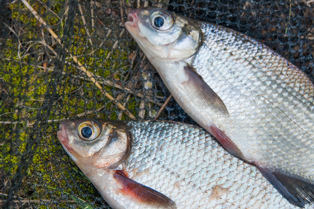 close up food: Just taken from the water freshwater white bream or silver fish known as blicca bjoerkna and white-eye bream species of the family Cyprinidae on green grass. Catching freshwater fish, black fishing net and fishing rod with reel on green grass.