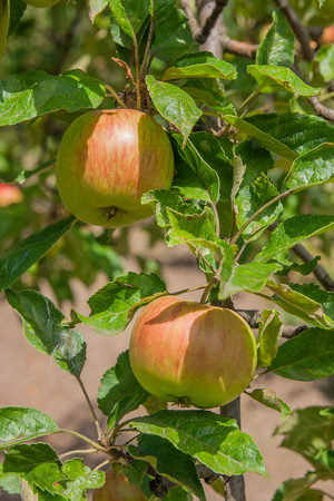 Close up of the tree branch with ripe organic apple on branch, fruit on orchard ready for picking.