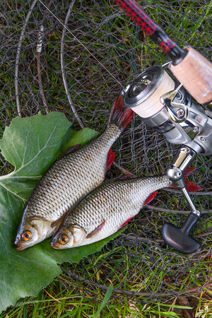 scardinius: Close up view of two freshwater common rudd fish known as scardinius erythrophthalmus on black fishing net and grass. Freshwater common rudd fish just taken from the water and fishing rod with reel on natural background.