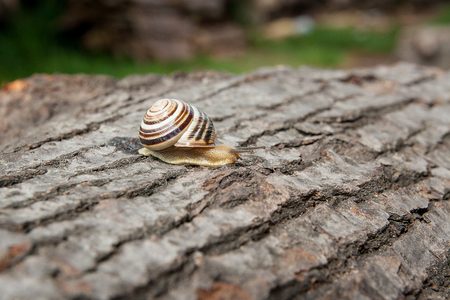 Roman Snail - Helix pomatia. Helix pomatia, common names the Roman, Burgundy, Edible snail or escargot, is a species of large, edible, air-breathing land snail, family Helicidae. Close up view of small vivid snail crawling on the trunk of old aspentree tr