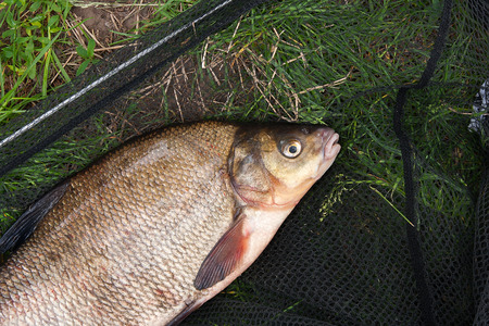 Close up view of just taken from the water freshwater common bream known as bronze bream or carp bream (Abramis brama) on black fishing net. Natural composition of fish and fishing net on green grass.