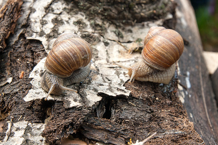 Roman Snail - Helix pomatia. Helix pomatia, common names the Roman, Burgundy, Edible snail or escargot, is a species of large, edible, air-breathing land snail, family Helicidae. Close up view of two big snails crawling on the trunk of old aspen tree trun
