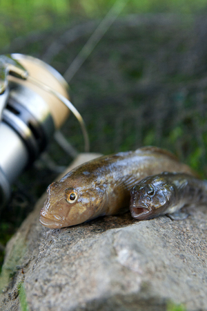 Freshwater bullhead fish or round goby fish known as Neogobius melanostomus and Neogobius fluviatilis pallasi just taken from the water. Two raw bullhead fish called goby fish on grey stone background and fishing rod with reel on natural background