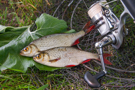 Close up view of two freshwater common rudd fish known as scardinius erythrophthalmus on black fishing net and grass. Freshwater common rudd fish just taken from the water and fishing rod with reel on natural background.   Stock Photo