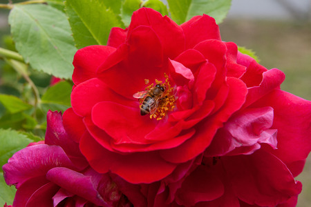 Close up view of Bee collects nectar and pollen on a blossoming pink rose flower. Beautiful pink rose opens its pedals among green leaves of the plant.