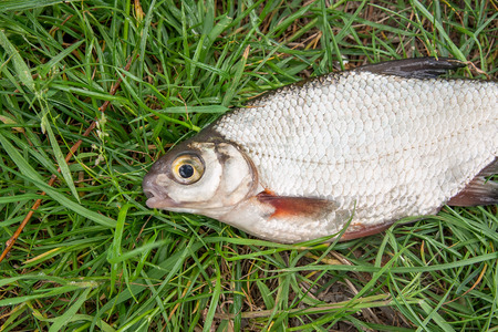 freshwater fish: Close up view of the just taken from the water freshwater white bream or silver fish known as blicca bjoerkna on green grass.