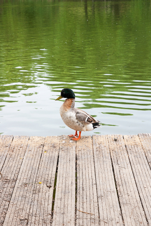 Two mallard ducks on old wooden pier. Mallard - a bird from the family of ducks detachment of waterfowl. The most famous and common wild duck. Birds in wildlife.