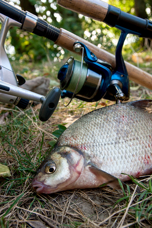 freshwater fish: Catching freshwater fish and fishing rods with reels on green grass. Several bream fish on natural background. Catching fish - common bream.