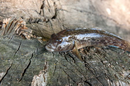 Freshwater bullhead fish or round goby fish known as Neogobius melanostomus and Neogobius fluviatilis pallasi just taken from the water. Raw bullhead fish called goby fish on natural vintage wooden background