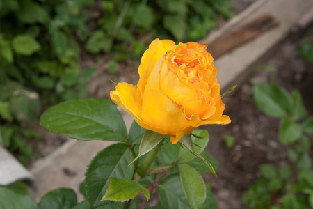 Beautiful yellow rose opens its pedals among green leaves of the plant. Artistic image of beautiful flower for greeting cards.