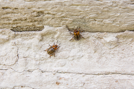 Bouchent la vue du coléoptère colorado colorado sur le mur vintage. Le scarabée est une créature très mémorable: le dossier du scarabée adulte a une teinte jaune-orange vif sur les ailes des barres noires. Le doryphore est le principal ennemi de la pomme de terre Banque d'images - 83233746