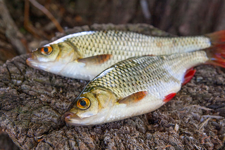 scardinius: Close up view of two freshwater common rudd fish known as scardinius erythrophthalmus on the vintage wooden trunk with brown bark. Stock Photo