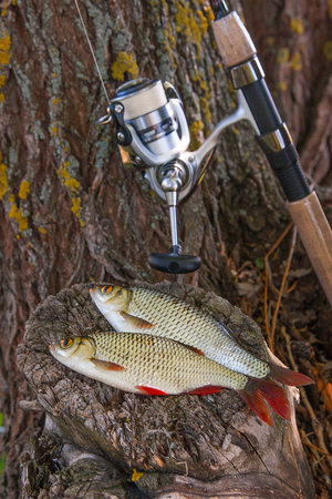 Close up view of two freshwater common rudd fish known as scardinius erythrophthalmus on black fishing net and grass. Freshwater common rudd fish just taken from the water and fishing rod with reel on the vintage wooden trunk with brown bark.