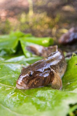 Freshwater bullhead fish or round goby fish known as Neogobius melanostomus and Neogobius fluviatilis pallasi just taken from the water. Close up view of raw bullhead fish called goby fish on big green leaf.