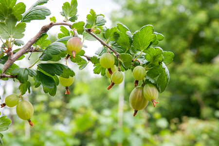 View to fresh green gooseberries on a branch of gooseberry bush in the garden. Close up view of the organic gooseberry berry hangs on a branch under the leaves.