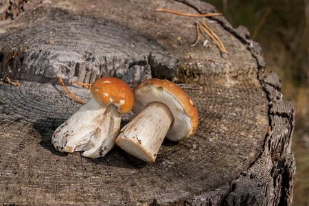 Harvested at autumn amazing edible mushrooms boletus edulis known as porcini mushrooms. Composition of group edible mushroom Boletus edulis (cep, penny bun, porcino, or king bolete, usually called porcini mushroom) on natural wooden background. Stock Photo