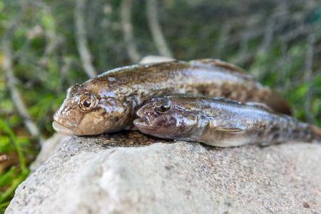 Freshwater bullhead fish or round goby fish known as Neogobius melanostomus and Neogobius fluviatilis pallasi just taken from the water. Raw bullhead fish called goby fish on grey stone.  Stock Photo