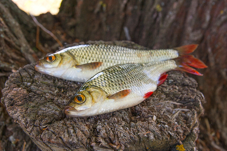 Close up view of two freshwater common rudd fish known as scardinius erythrophthalmus on the vintage wooden trunk with brown bark. Stock Photo