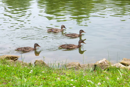Mallard - a bird from the family of ducks detachment of waterfowl. The most famous and common wild duck. Group of mallard ducks a passing on a lake along the side of benk. Birds in wildlife. Stock Photo