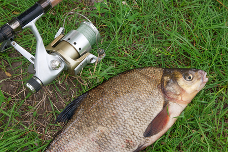 Close up view of just taken from the water big freshwater common bream known as bronze bream or carp bream (Abramis brama) and fishing rod with reel on natural background. Natural composition of fish and fishing rod with reel on green grass. Stock Photo