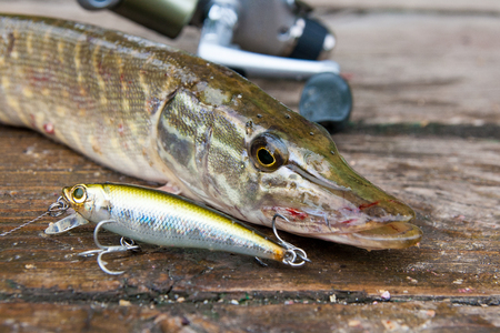 Freshwater Northern pike fish know as Esox Lucius and fishing rod with reel lying on vintage wooden background. Fishing concept, good catch - big freshwater pike fish just taken from the water, fishing lure and fishing rod with reel.