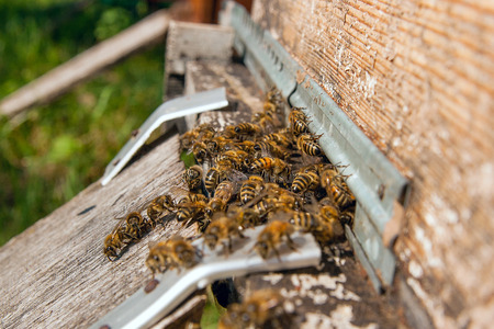 Plenty of bees at the entrance of beehive in apiary. Busy bees, close up view of the working bees