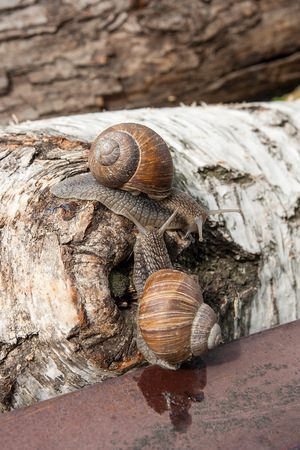 Roman Snail - Helix pomatia. Helix pomatia, common names the Roman, Burgundy, Edible snail or escargot, is a species of large, edible, air-breathing land snail, family Helicidae. Close up view of two big snails crawling on the trunk of old birch tree trunk. Stock Photo