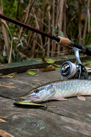 Freshwater Northern pike fish know as Esox Lucius and fishing rod with reel lying on vintage wooden background  with yellow leaves at autumn time. Fishing concept, good catch - big freshwater pike fish just taken from the water, fishing lure and fishing rod with reel.