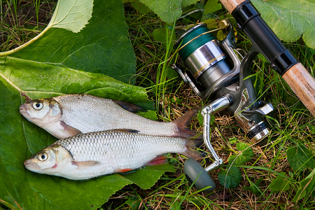Several just taken from the water freshwater common bream known as bronze bream or carp bream (Abramis brama) and chub known as European chub (Squalius cephalus) with fishing rod with reel on natural background.