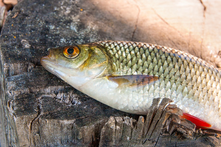 Close up view of single freshwater common rudd fish known as Scardinius erythrophthalmus on the vintage wooden trunk with brown bark.
