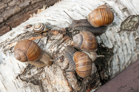 Roman Snail - Helix pomatia. Helix pomatia, common names the Roman, Burgundy, Edible snail or escargot, is a species of large, edible, air-breathing land snail, family Helicidae. Close up view of several big snails crawling on the trunk of old birch tree trunk.  Stock Photo